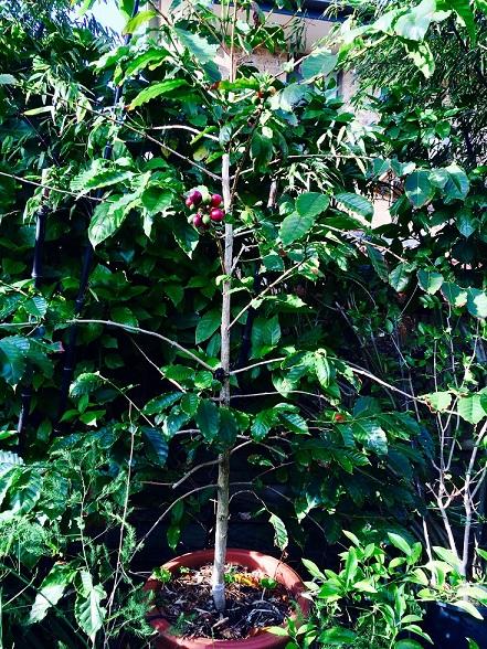 фото дерева кофе арабика К7