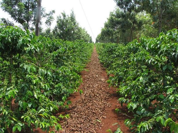 фото кофейного дерева Руиру 11